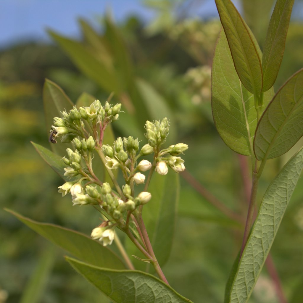 Pale green sepals hold a small corolla of five white petals in the Indian Hemp flower.