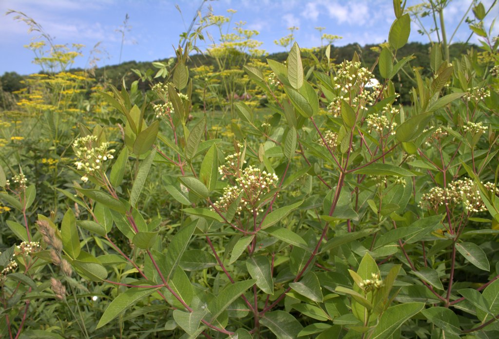Flowers, leaves and stems are distinctive in the weedy Indian Hemp.