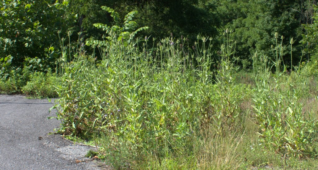 Teasel growing in the gravel of an empty lot.