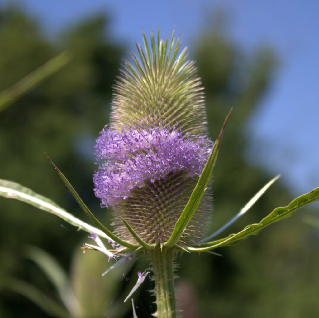 Tiny lavender flowers of teasel hide among the egg-shaped pin cushion.