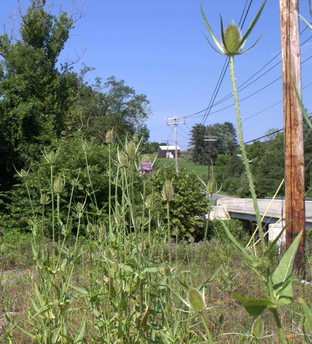 Teasel can be found as a roadside weed.