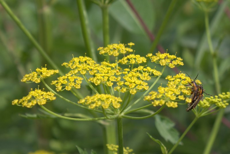 Beetle Love on a Wild Parsnip