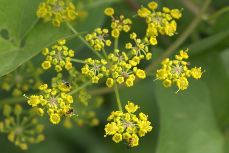 Mosquito and ants on a wild parsnip flower.