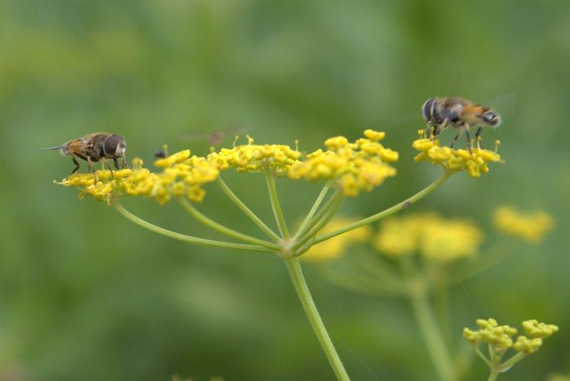 Flies on a wild parsnip flower.