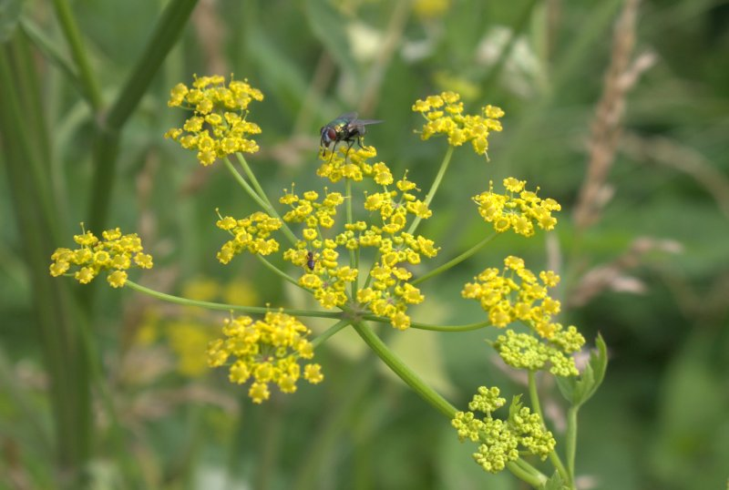 Garbage fly and an ant feeding from a wild parsnip umbel.