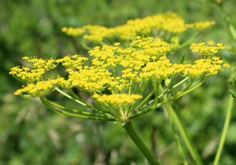Wild Parsnip Flowers Yellow In Umbels Wildeherb