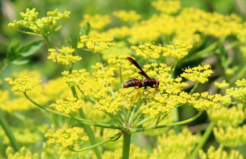 Wasp on a wild parsnip flower.