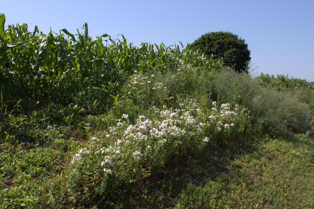 Bouncing Bet flowering next to a country road near a cornfield.