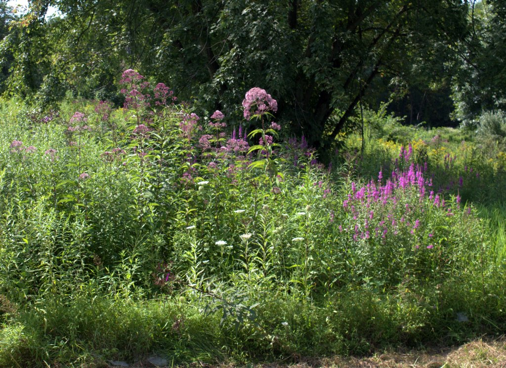 Joe Pye Weed (left) and Purple Loosestrife (right) flowering along a country road.
