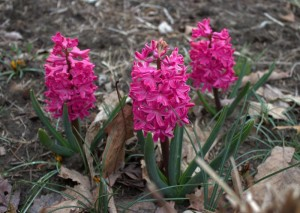 Red Hyacinth in the Garden