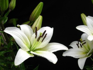 White Lily with Water Drops