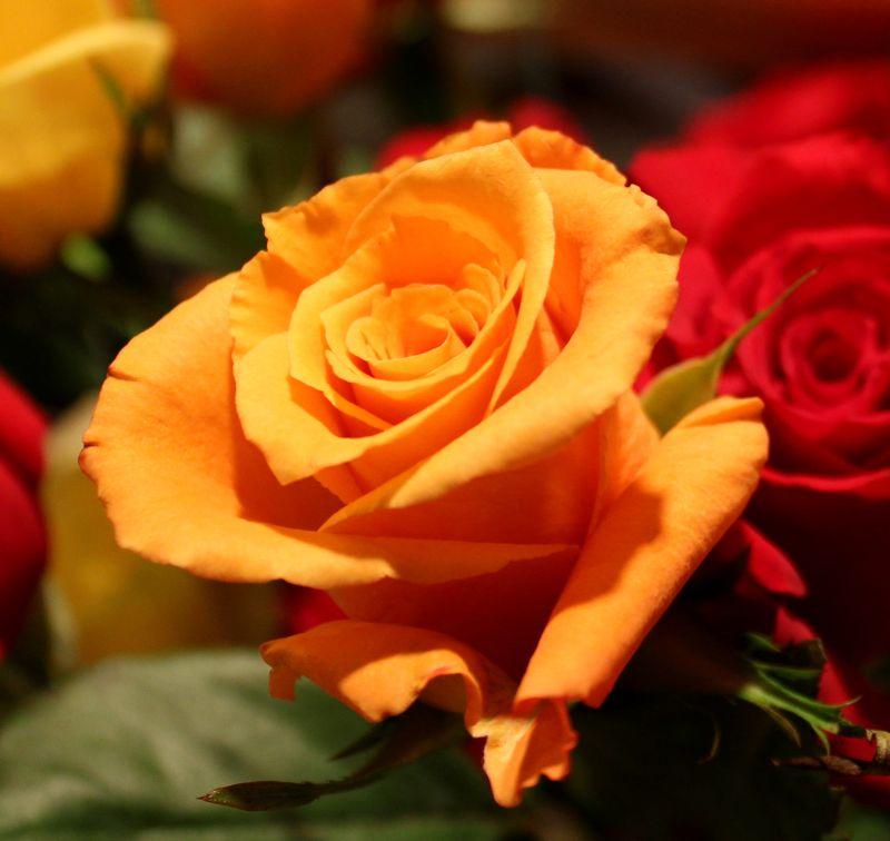 Confident  rose.