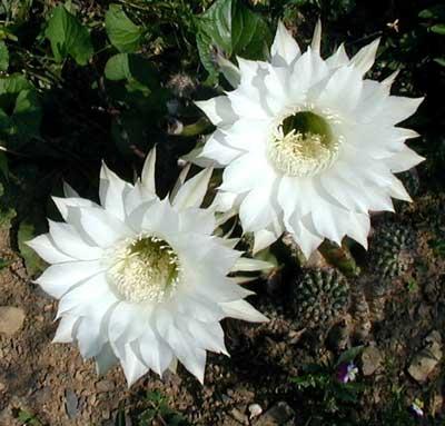 Desert White Cactus