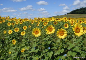 The Farmer's Sunflowers