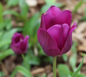 Purple Robed Tulip