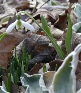 A Snow Drop in Bloom