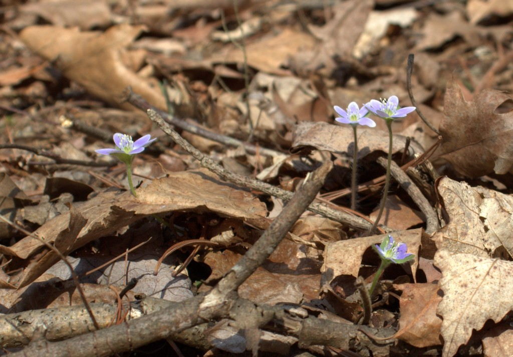 Hepatica Flowers Rising Through Oak Leaves on the Forest Floor