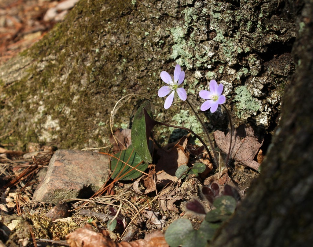 Hepatica Flowering  at the Base of a Tree