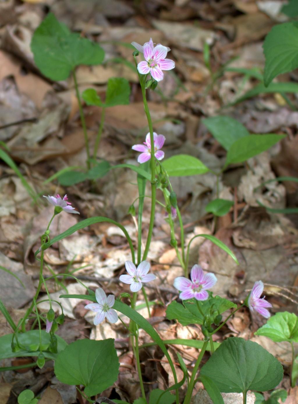 Spring Beauty Still Flowering In Woodlands Wildeherb Com