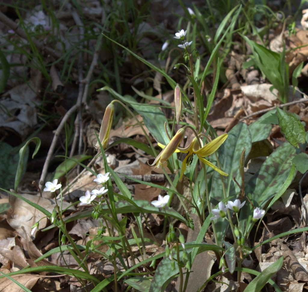 Spring Beauty Lives Among the Troutlily