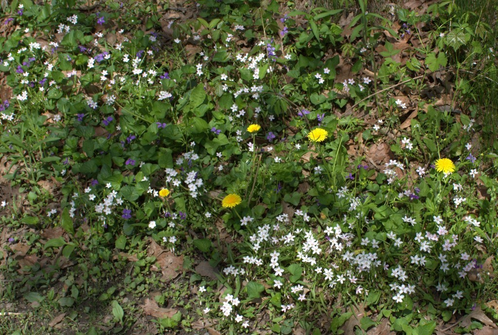 Spring Beauty Blooming with Violets and Dandelions