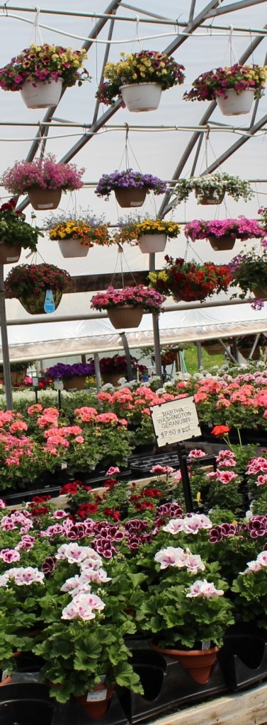 Greenhouse Flowers Await Transplanting