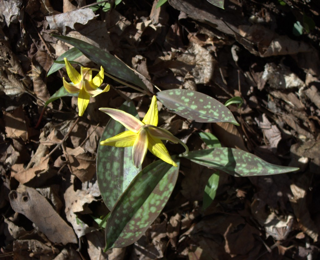 Looking Down On Two Trout Lilies