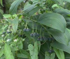 Clusters of Great Solomon's Seal Blue Berries Dangle Under Its Leaves