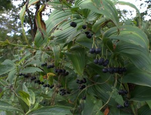 Great Solomon's Seal Blue Berries Hang on Through Fall
