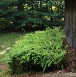 Hayscented Fern Can Take Over Spaces