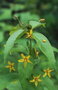 Yellow and Red Flowers of Whorled Loosestrife