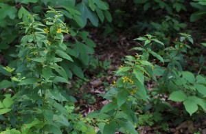 Whorled Loosestrife Blooming at the Forest Edge