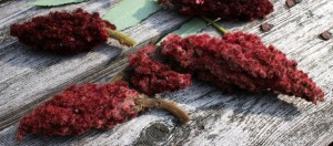 Staghorn Sumac Red Fruit Clusters