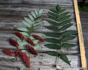 Giant Compound Leaves and Red Fruit Clusters of Staghorn Sumac