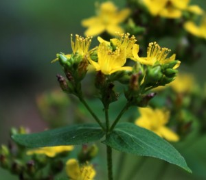 Close-up of St. John's Wort Black-Dotted Flowers