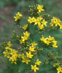 Clusters of St. John's Wort Yellow Starry Flowers