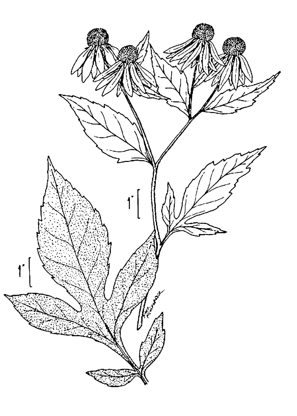 Line Drawing Coneflower : Green headed coneflower at the river