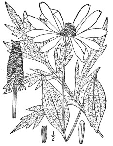 Cutleaf Coneflower Illustration