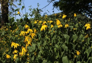 Bright Yellow Flowers of Green-headed Coneflower