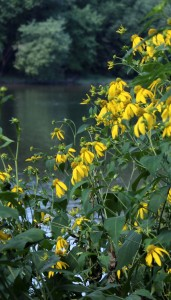 Green-headed Coneflowers at the Juniata River