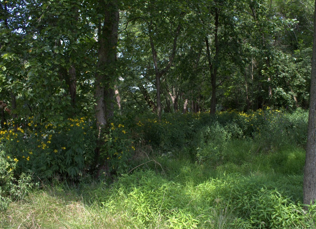 Native Sunflowers Growing in Wooded Riverine Area