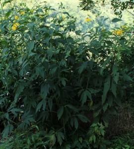 Green-headed Coneflower with Woodland Sunflower