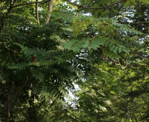Staghorn Sumac Growing to the Left of Tree of Heaven