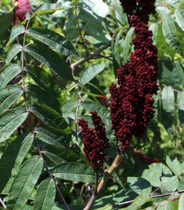 Loose Cluster of Smooth Sumac Berries and Huge Compound Leaf