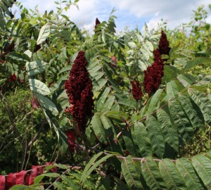 Compound Leaves and Red Berries of Smooth Sumac