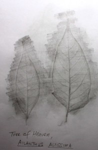 Tree of Heaven Leaf Rubbing
