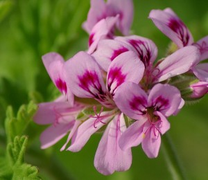 Rose-Geranium Flowers