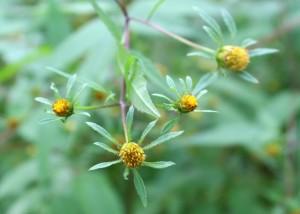 Beggar-Ticks Flowers Without Petals