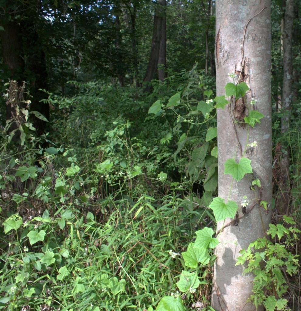 Bur-Cucumber Vines Up A Tree