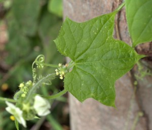 Palmate Leaf and Two Kinds of Flowers of Bur-Cucumber Vine
